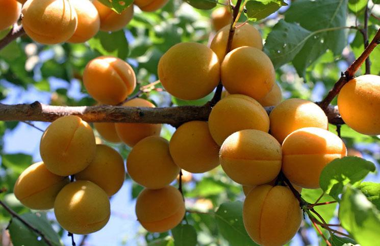О абрикосе