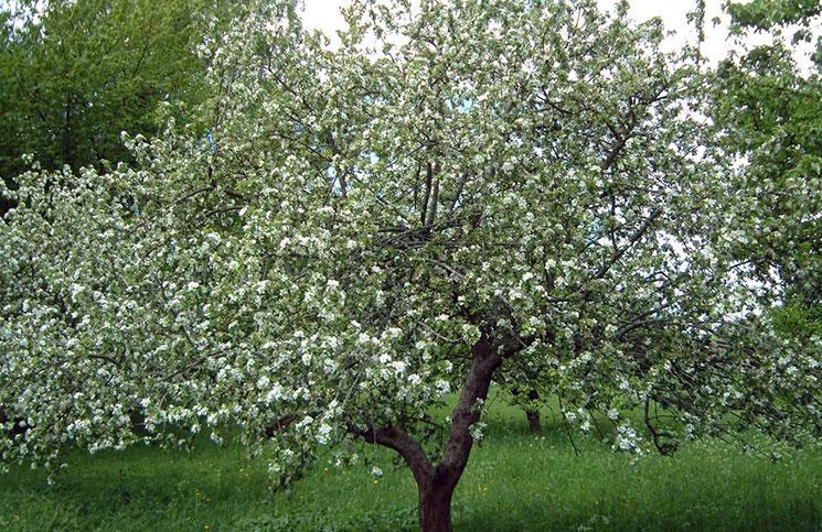 Выбираем яблоню