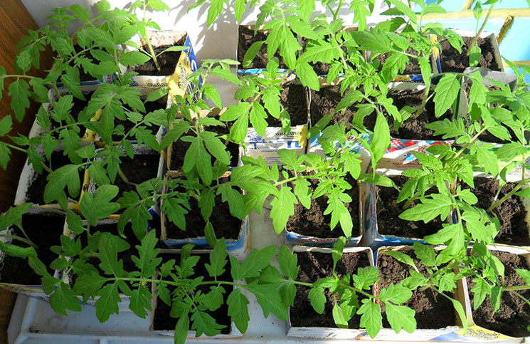 Выращивание рассады