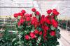 Промышленная теплица с розами