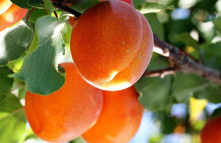 В последние годы культура абрикоса в