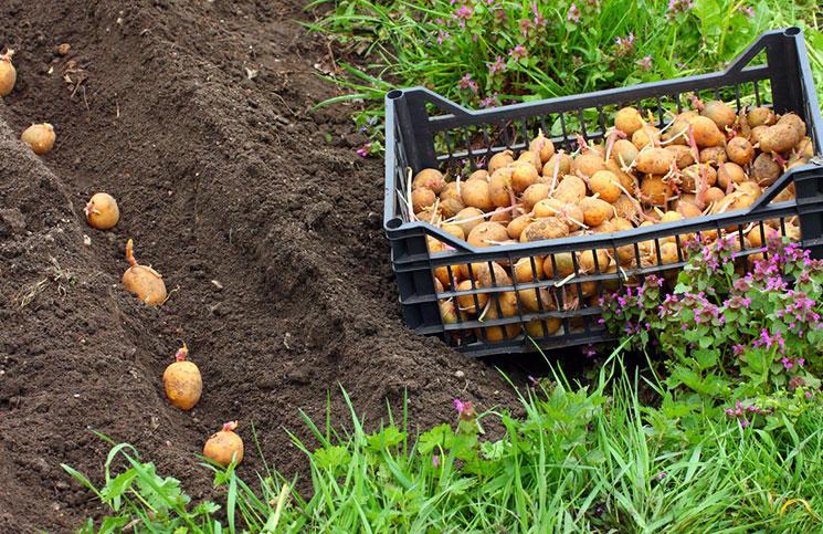 На каком расстоянии лучше сажать картошку 45