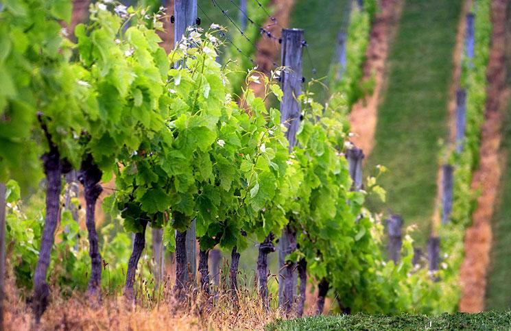 Реконструкция винограда