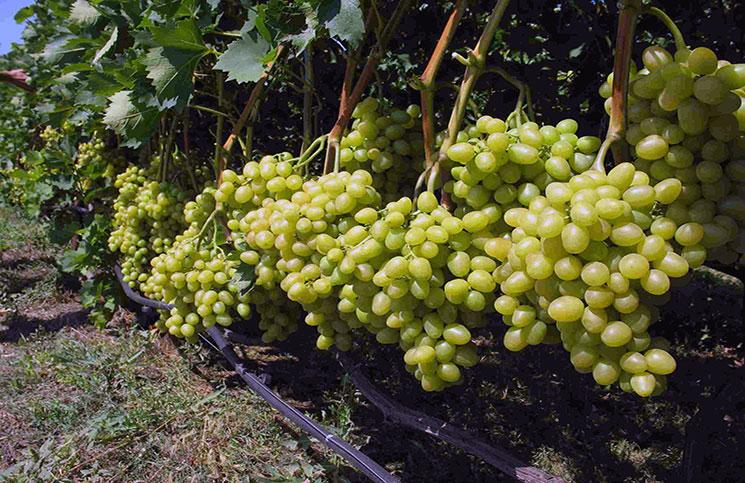 Винный виноград Совиньон Блан