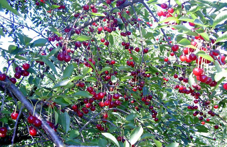 Подвои для вишни и черешни