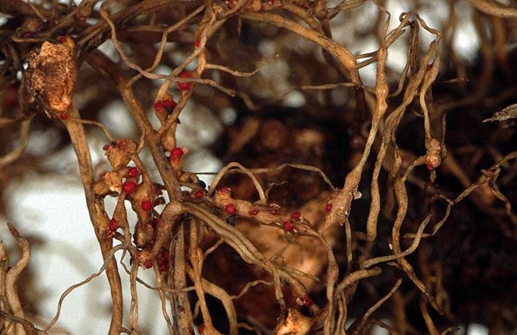 Заболевание на корнях