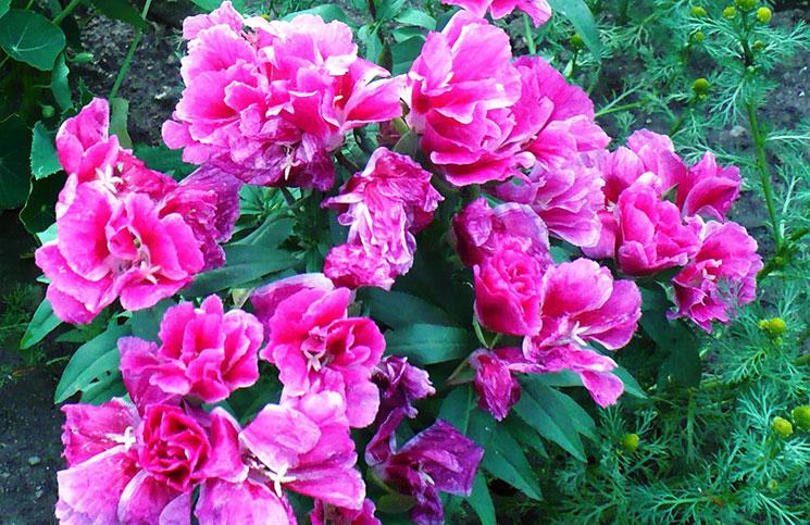 Годеция с полумахровыми цветками