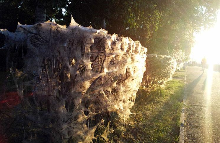 Паутинное гнездо с гусеницами