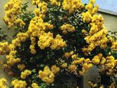 Golden Klimber
