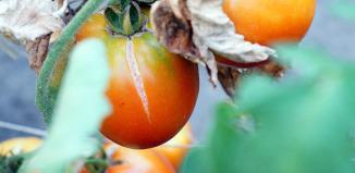 Повреждение плодов
