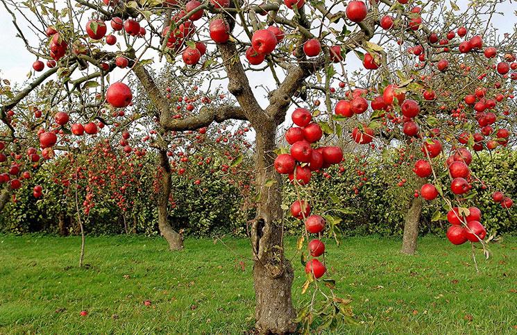 Молодая яблоня на клоновом подвое