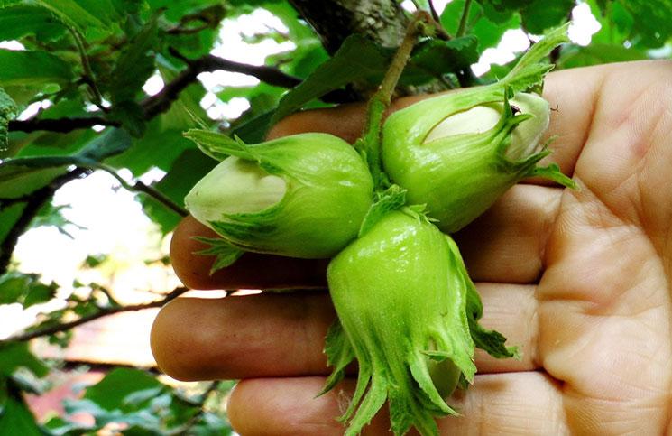 Плоды декоративной лещины