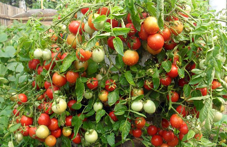 томат аленка фото отзывы