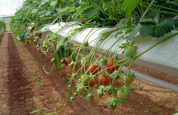 Выращивание клубники круглый год гидропоника 43