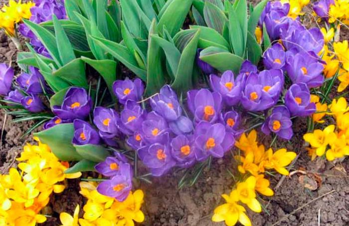 Цветы луковичные многолетники