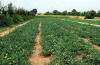 Загущенные посадки томатов