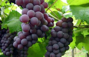 В винограде главное — урожайность