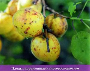 Плоды, пораженные клястероспориозом