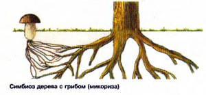 Симбиоз дерева с грибом