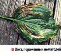 Лист, пораженный нематодой