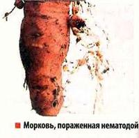Морковь, пораженная нематодой