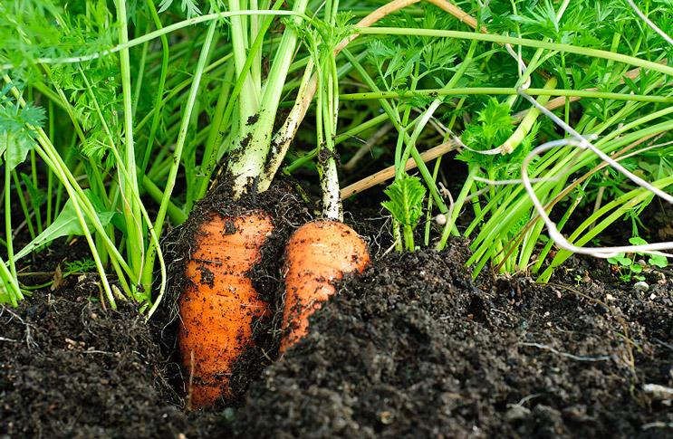Выращивание моркови