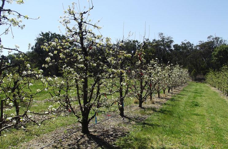 Сад груш сорта Вильямс