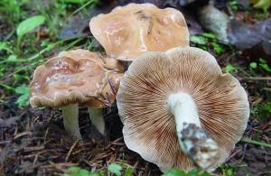 Пластинчатый гриб