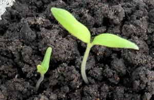 Первые ростки томатов