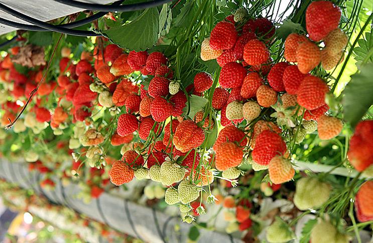Как сделать бизнес на выращивании клубники в теплице круглый год