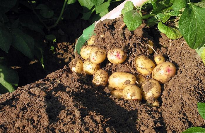 Картофель сажать под зиму 22