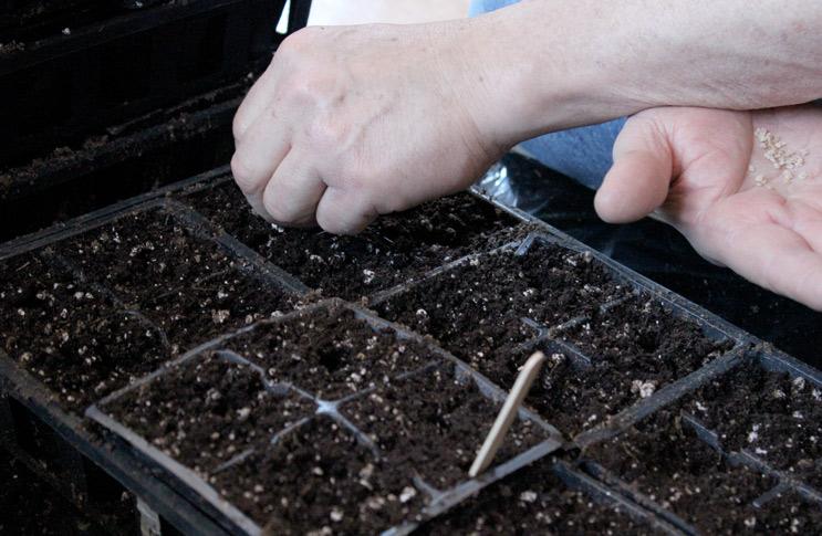 Как и когда сажать помидоры на рассаду в грунт 107