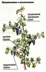 Прищипывание и пасынкование винограда