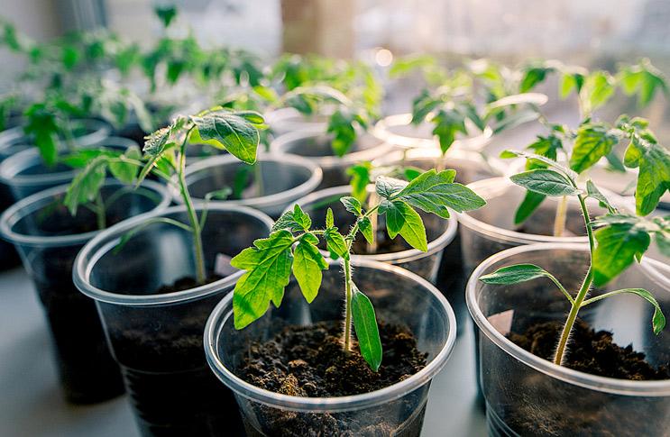 Правильный уход за рассадой помидоров