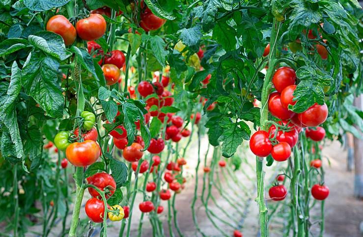 Выращивание томатов и помидоров 148