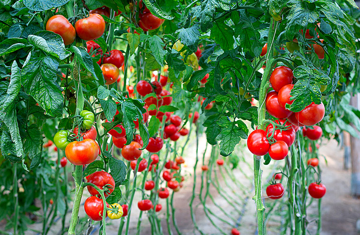 Посев на рассаду помидор это как 345
