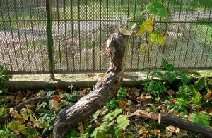 Виноград обрезан