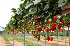 Выращивание клубники