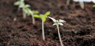 Выращивание помидоров из семян на рассаду