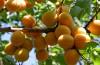 Особенности сорта абрикоса Лель