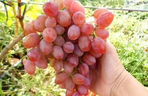 Дозревшая гронка винограда