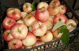 Яблоки Конфетное
