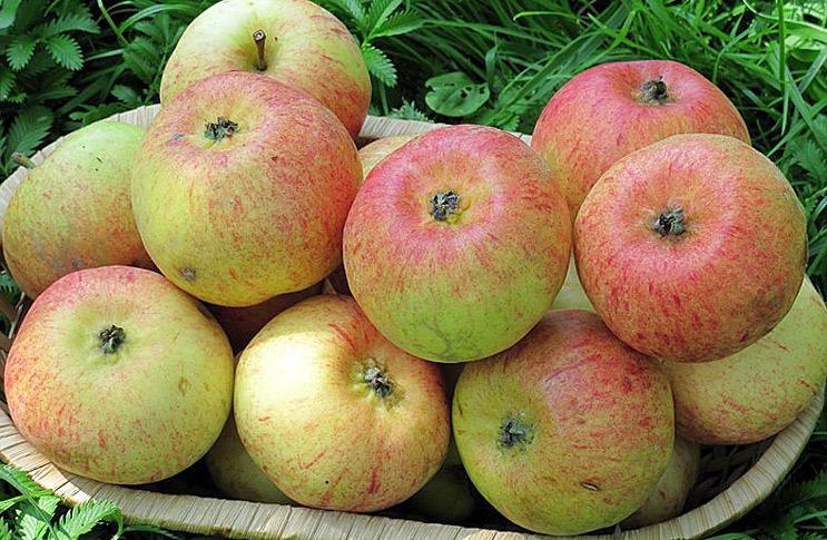 Сорт яблони Конфетное