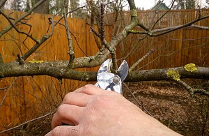 Как обрезать яблоню