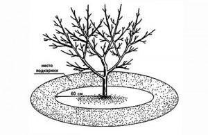 Как подкармливать яблоню сорта Конфетное