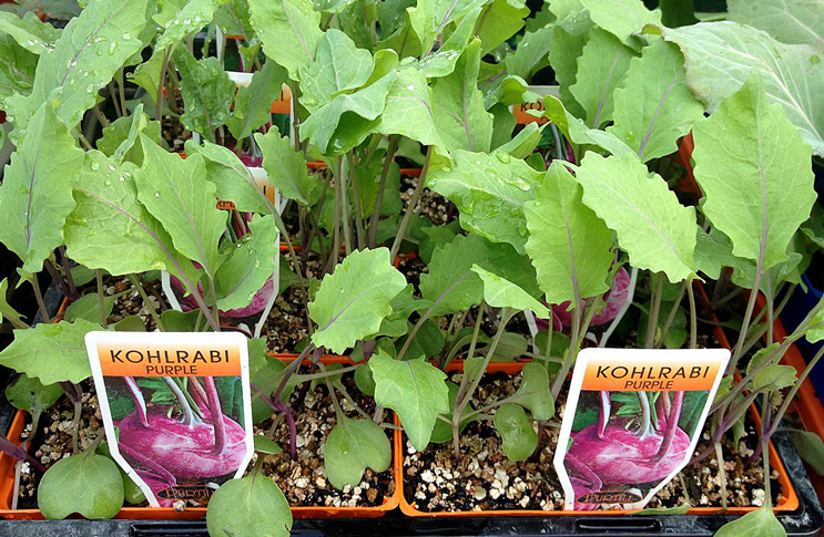 Посадка кольраби в открытый грунт рассадой 36