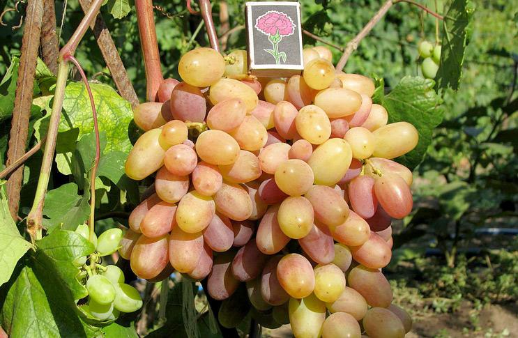 Размер гронки винограда сорта Виктор