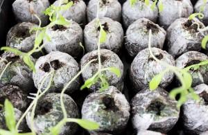 Вариант выращивания рассады