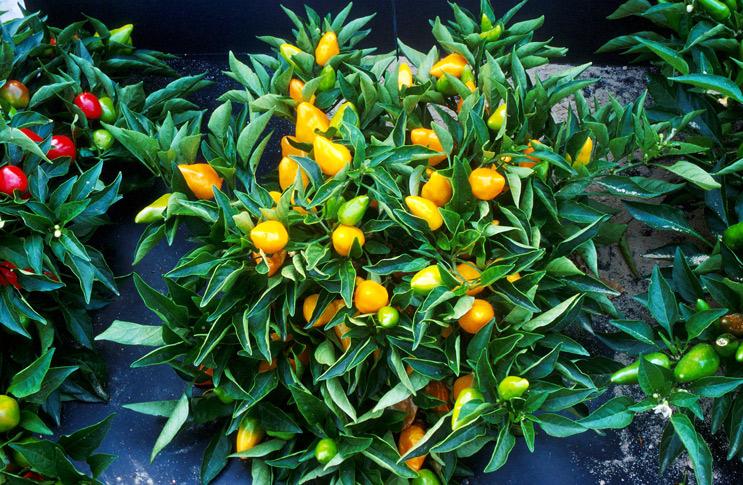 Как и чем производить подкормку рассады томатов и перца