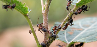 Как избавиться от муравьев в парнике или теплице?
